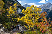Hiking, Maple in fall, Acer pseudoplatanus, Austria, Europe