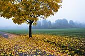 Maples in fall, Acer platanoides, mist, Upper Bavaria, Germany