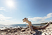 Driftwood log at the Mediterranean coast, Peroj, Istria, Croatia