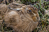 The introduced and very invasive European rabbit Oryctolagus cuniculus, outside Stanley, Falkland Islands, South America