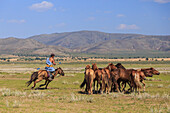 Mounted nomad holds uurga and herds horses in summer, Khogno Khan Uul Nature Reserve, Gurvanbulag, Bulgan, Northern Mongolia, Central Asia, Asia