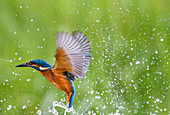 Kingfisher Alcedo atthis, United Kingdom, Europe