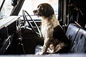 Springer spaniel, gun dog, Land Rover, England, United Kingdom, Europe