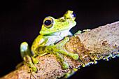 Tree frog in the Mashpi Cloud Forest area of the Choco Rainforest, Pichincha Province, Ecuador, South America