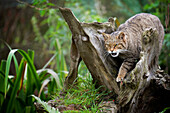 Scottish wildcat Felix silvestris, Devon, England, United Kingdom, Europe