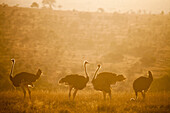 Ostriches Struthio camelus at sunset, Kenya, East Africa, Africa