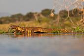 Water monitor leguaan Varanus niloticus, Zimanga private game reserve, KwaZulu-Natal, South Africa, Africa