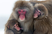 Snow monkey Macaca fuscata group with baby cuddling together in the cold, Japanese macaque, captive, Highland Wildlife Park, Kingussie, Scotland, United Kingdom, Europe