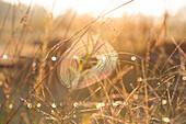 Sunshine on Spider Web in Grassy Field