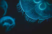 Close-up Detail of Moon Jellyfish, National Aquarium, Baltimore, Maryland, USA