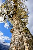 Trunk of a maple in autumn colours, Grosser Ahornboden, Eng, Natural Park Karwendel, Alpenpark Karwendel, Karwendel, Tyrol, Austria