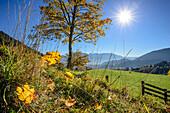 Herbstlich verfärbter Laubbaum vor Inntal und Kaisergebirge, Wildbarren, Mangfallgebirge, Bayerische Alpen, Oberbayern, Bayern, Deutschland