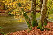 Herbstlich verfärbte Buchen mit Würm, Mühltal, Würmtal, Starnberg, Oberbayern, Bayern, Deutschland