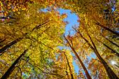 Herbstlich verfärbte Buchen, Mühltal, Würmtal, Starnberg, Oberbayern, Bayern, Deutschland