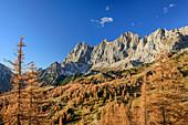Herbstlich verfärbte Lärchen vor Torstein, Mitterspitz und Dachstein, Dachstein, Steiermark, Österreich