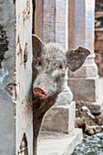 Pig peeping out from behind wall on the street in an old Indian village, Rampura Bas Ganwar, Rajasthan, India