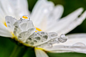Close up of a daisy with a water droplet reflecting the flower