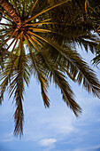 Looking up into a palm tree against a bright blue sky, Tamarindo, Costa Rica