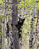 Young black bear (Ursus americanus) in a tree, Waterton Lakes National Park, Alberta, Canada