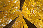 Low angle view of golden leaves on a tree in autumn, Brampton, Ontario, Canada
