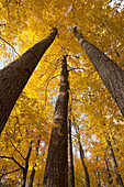 Low angle view of golden leaves on trees in autumn, Brampton, Ontario, Canada