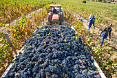 Wine grape harvest, Stellenbosch, South Africa
