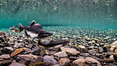 Pink salmon Oncorhynchus gorbuscha probes her redd while her alpha male guards in an Alaska stream during summer.