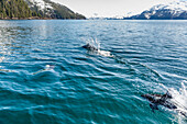 Dall's Porpoises swimming at the surface of the ocean, Prince William Sound, Whittier, Southcentral Alaska, USA, Winter