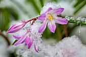 Close up of a Chionodoxa blossom Glory-of-the-snow with snow, Alaska