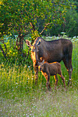 A moose cow and calf in Kincaid Park, Anchorage, Southcentral Alaska, summer