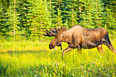 Bull moose in velvet, Kincaid Park, Anchorage, Southcentra Alaska, summer
