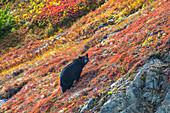 Black bear Urus Americanus standing on a colorful autumn hillside, Kenai Fjords National Park, Southcentral Alaska