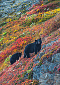 Black bear sow Urus Americanus with her cub on a colorful hillside in autumn near Exit Glacier, Kenai Fjords National Park, Southcentral Alaska