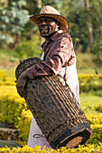 An African man in a brown shirt and pink and white patterned wrap with a leopard-print hat plays a drum, Nkuli, Western Province, Rwanda