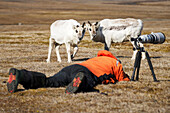 Photographer lays down on a grass field with camera and long lens on a tripod as two sheep stand close by watching him, Spitsbergen, Svalbard, Norway