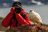 Close up of a white ptarmigan Lagopus perched on a rock with a blurred photographer in a red jacket taking a picture of it with a long lens in the background, Spitsbergen, Svalbard, Norway