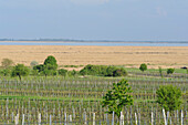 Reed, Vineyard, Lake Neusiedl, UNESCO World Heritage Site The Cultural Landscape Fertoe-Lake Neusiedl, Burgenland, Austria