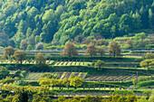 Weinberge an der Donau, UNESCO Welterbestaette Die Kulturlandschaft Wachau, Niederoesterreich, oesterreich
