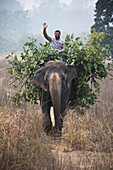 Man riding on a elephant loaded with tree branches, Corbett-National Park, Uttarakhand, India