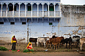Two women and cows in front of a blue facade, Pushkar, Rajasthan, India