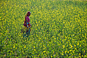 Indian woman in a blossoming mustard field, Rajasthan, India