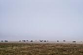 Flock of cattle in misty field