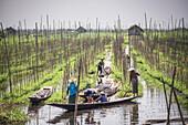 Floating Gardens, Inle Lake, Shan State, Myanmar Burma, Asia