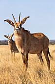 Roan antelope Hippotragus equinus, Mokala National Park, South Africa, Africa