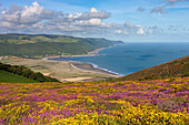 Flowering heather and gorse on Bossington Hill, with views to Porlock Bay beyond, Exmoor, Somerset, England, United Kingdom, Europe