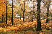 Colourful deciduous woodland with autumnal colours, Lake District, Cumbria, England, United Kingdom, Europe