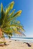 Palm trees on this beautiful surf beach near Mal Pais, far south of Nicoya Peninsula, Santa Teresa, Puntarenas, Costa Rica, Central America