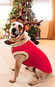 Auggie the dog with reindeer outfit poses in front of the Christmas tree.