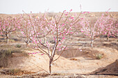 Drip-irrigated almond trees Prunus amygdalus in bloom on a plantation outside Ezuz, Israel.