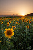 Sunflowers at Haardrand near Landau, Rhineland-Palatinate, Germany